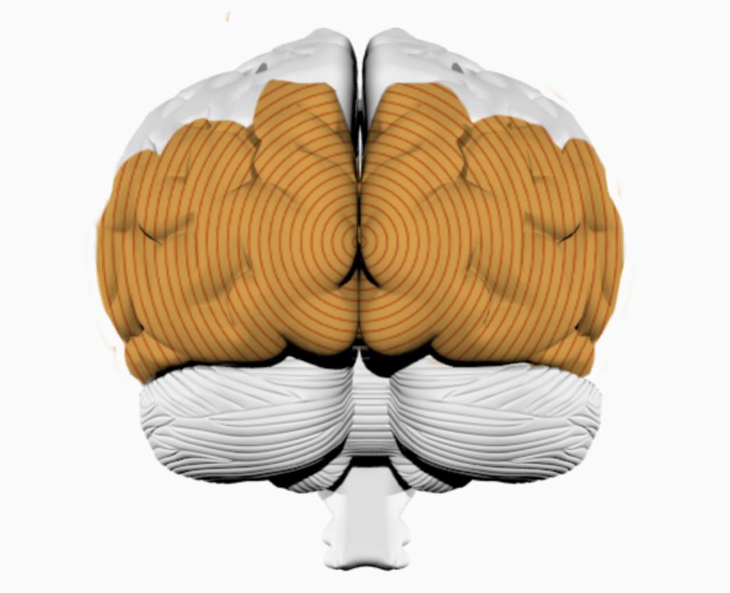 Затылочная доля головного мозга визуализирует музыку