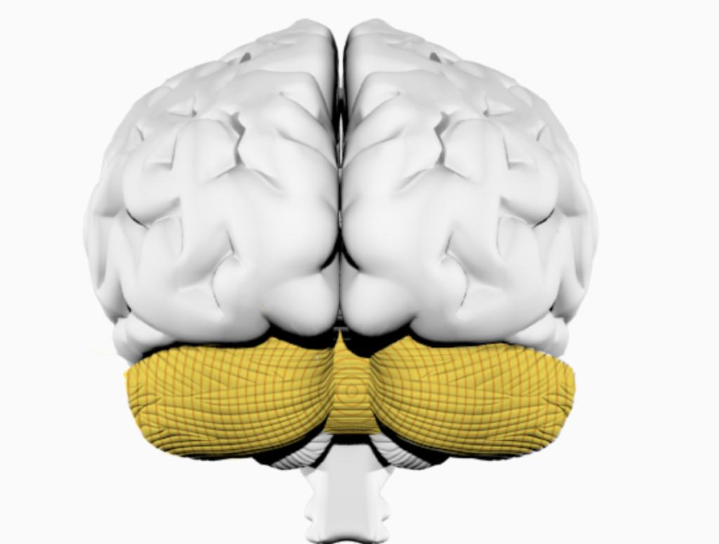 Мозжечок — влияние музыки на организм человека