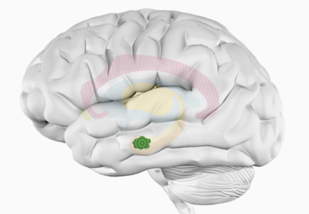 Миндалевидное тело головного мозга — влияние музыки на организм человека