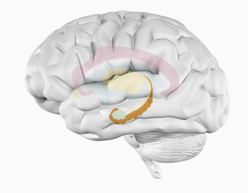 Гиппокамп головного мозга
