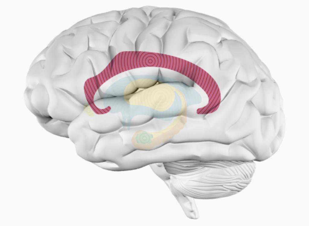 Мозолистое тело. Исследование влияния музыки на человеческий организм.